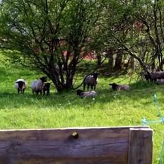 羊肉炖包菜
