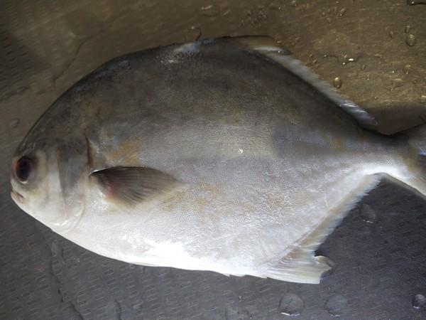 红烧金鲳鱼的做法大全