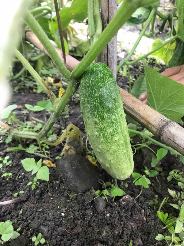 紫苏煎黄瓜的做法大全
